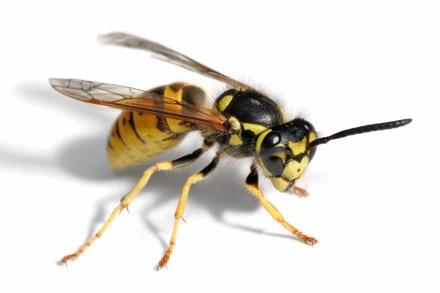 European_wasp_white_bg02